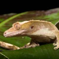 Crested Gecko Facts for Kids