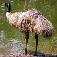 Emu Bird Facts for Kids