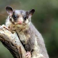 Leadbeater Possum Facts for Kids