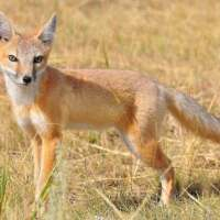 Swift Fox Facts for Kids