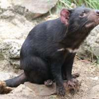 Tasmanian Devil Facts for Kids - Fun Facts & Information