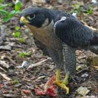 Peregrine Falcon Facts for Kids - Peregrine Falcon Interesting Facts