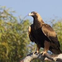 Wedge Tailed Eagle Facts for Kids - Australian Wedge Tailed Eagle Facts