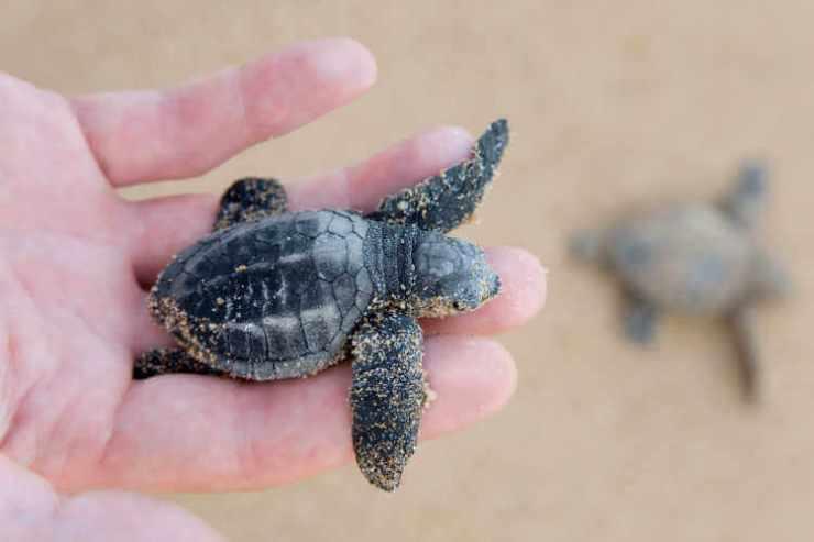 loggerhead turtle in hand at beach