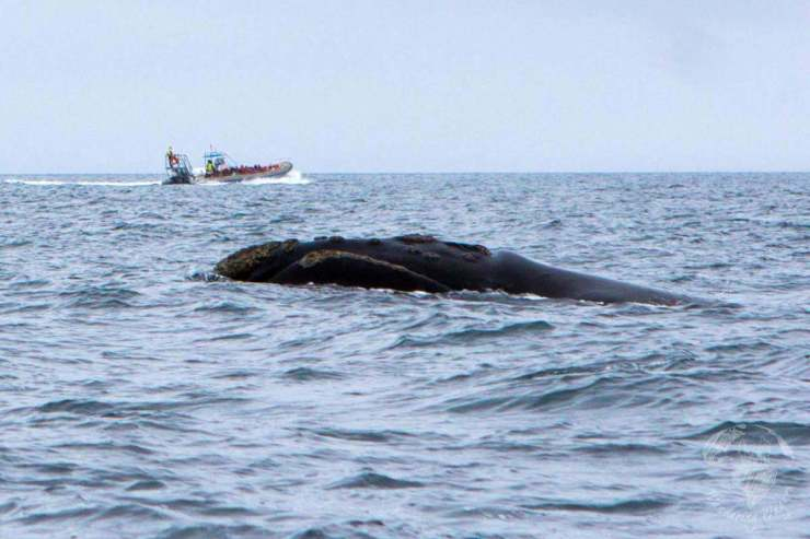 Things to Do in Puerto Madryn, Argentina Whale-in-Puerto-Piramides---Wandering-Wagars