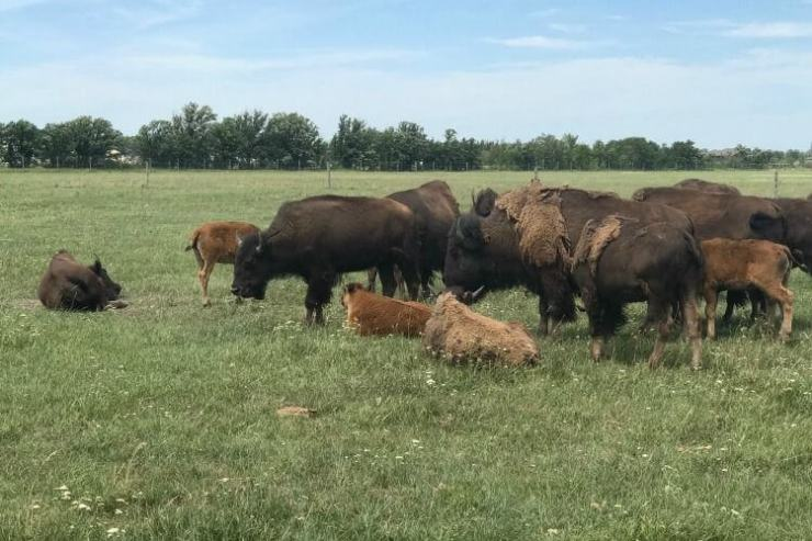 Bison-Safari-Fort-Whyte-Alive-Winnipeg-with-Kids-Kids-Are-A-Trip