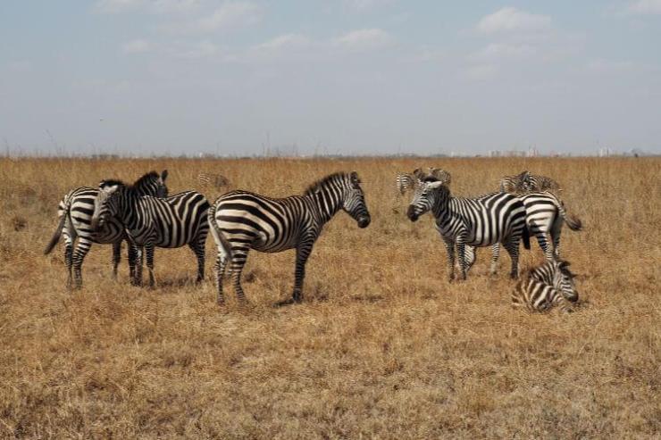 Nairobi-National-Park-Zebra-Kids-Are-A-Trip