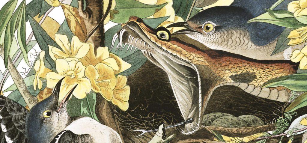 See The Original Colors Of John James Audubons Painting Called Mocking Birds And Rattlesnake At Audubonorg America Bird