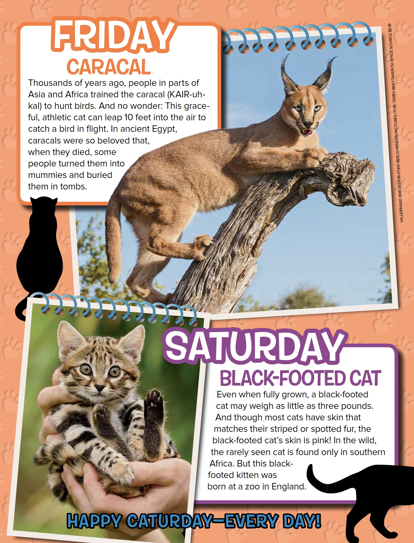 What Eats The Black Footed Cat