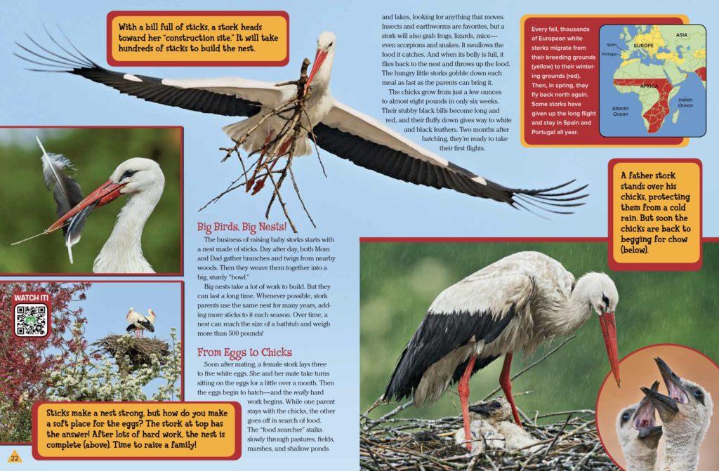 White Storks Ranger Rick September 2017 2