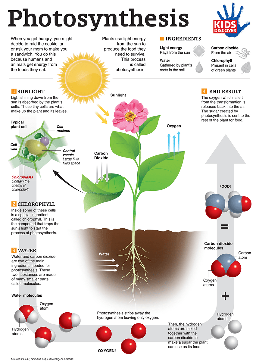 Infographic: Photosynthesis for Kids - KIDS DISCOVER