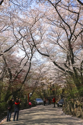 Cherry blossom Kyeonghee university