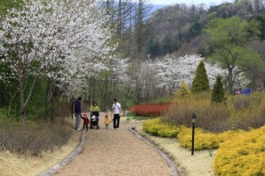 Cherry Blossoms Jade Garden Korea