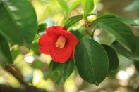 Camellia Hyangiram Hermitage Korea