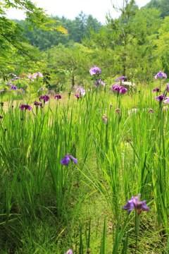 Iris flowers Korea Haeyeorim Gardens