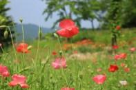 Red poppies Haeyeorim Gardens
