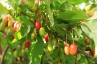 Cherry fruits Haeyeorim Gardens