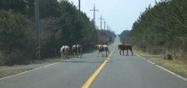 Jeju Island, wild horses