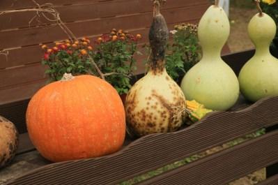 Pumpkins at Jinju Farm, Korea