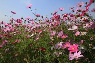 Beautiful cosmos flowers, Seoul
