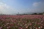 Cosmos flowers in Autumn, Guri Citizen's Hangang River Park