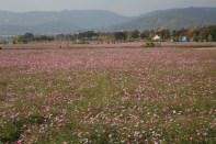 Fields of cosmos flowers, Guri Citizen's Hangang River Park
