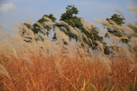 Eulalia grass, Guri Citizen's Hangang River Park