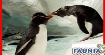 Faunia acerca el cortejo de los pingüinos por San Valentín