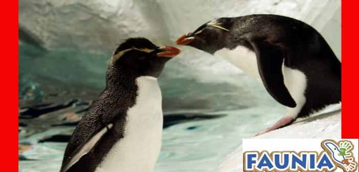 Discover the courtship of penguins for St Valentine's Day at Faunia