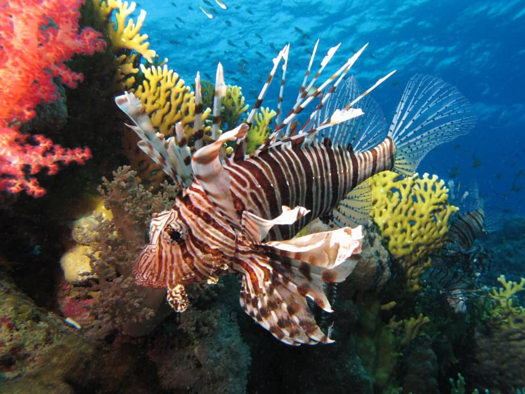 Lionfish Facts Habitat Worksheets Amp Life Cycle