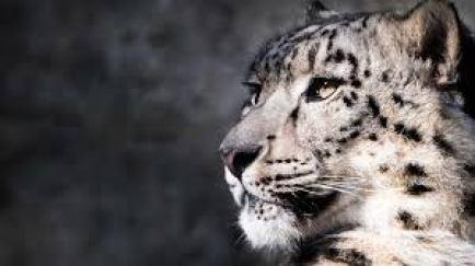 snow-leopard-facts