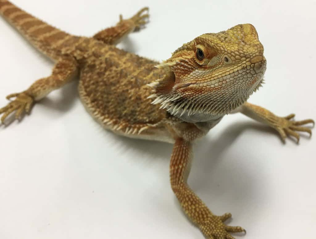 Bearded Dragon Facts Worksheets Species Habitatt