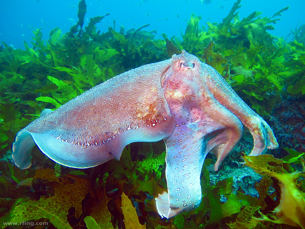 Cuttlefish Facts Worksheets Physical Characteristics