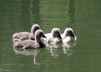 Image of four cygnets on water with ripples