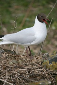 Image of black-headed-tern-on-nest with eggs-farne-islands