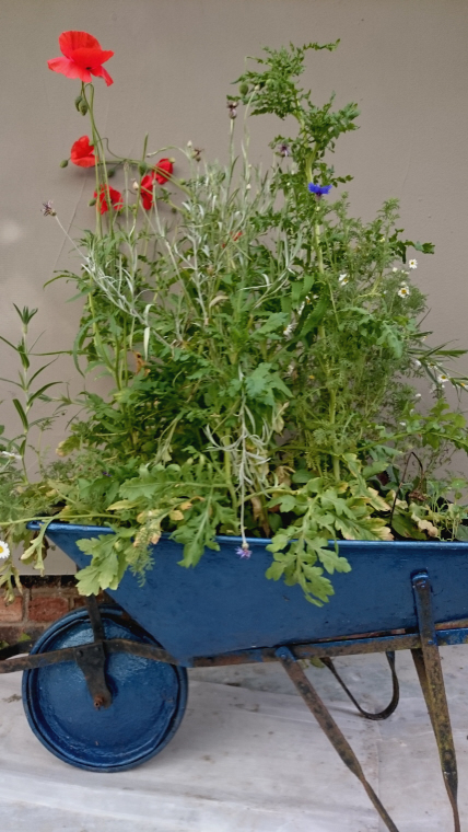 Image of blue-wheelbarrow-planted-with-wildflowers-in-front-of-wall