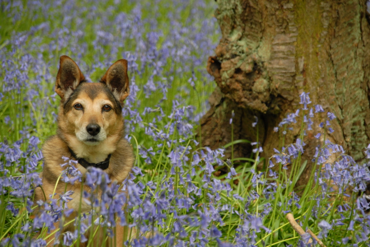 brown-dog-sitting-in-bluebell-woods-broadway-cotswolds