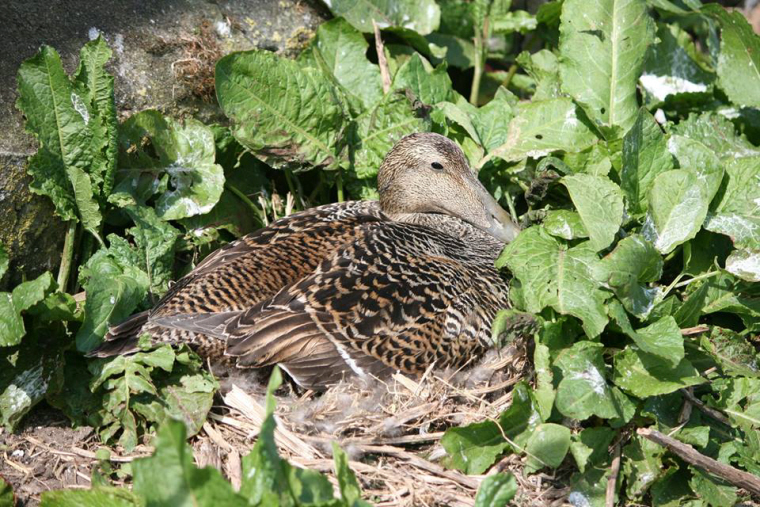 Image of eider-duck-female-nesting-in-plants-on-the-ground