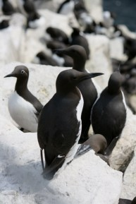 Image of guillemots-on-rocks-farne-islands