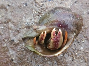 Image close up of hermit-crab-claws poking out of whelk-shell-northumberland