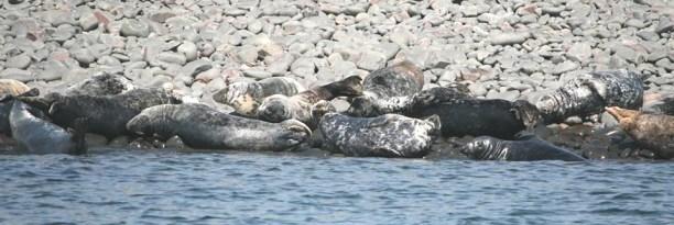 Image of grey-seals-basking-on-rocky-coastline