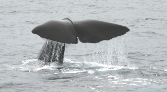 Image of close up of sperm whale tail just before it dives back under the sea