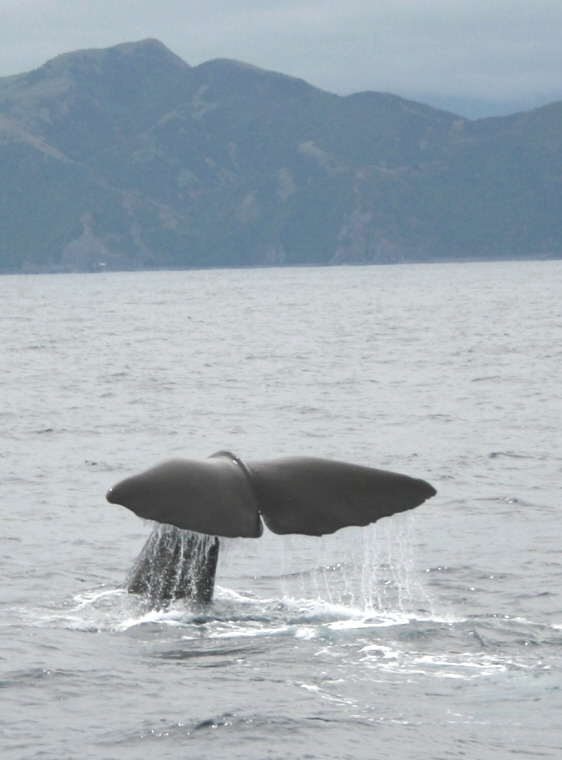 sperm-whale-tail-in-sea-with-mountains-behind