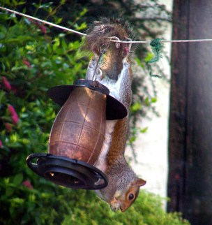Image of grey-squirrel-hanging-upside-down-on-bird-peanut-feeder