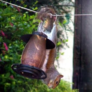 Image of grey-squirrel-hanging-upside-down-on-bird-peanut-feeder