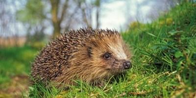 Image of hedgehog-in-grass