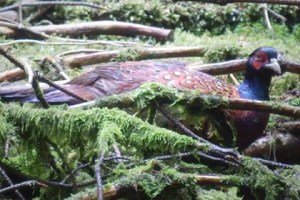 Image of male pheasant amongst sticks
