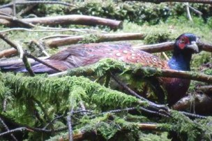 Image of male pheasant amongst sticks