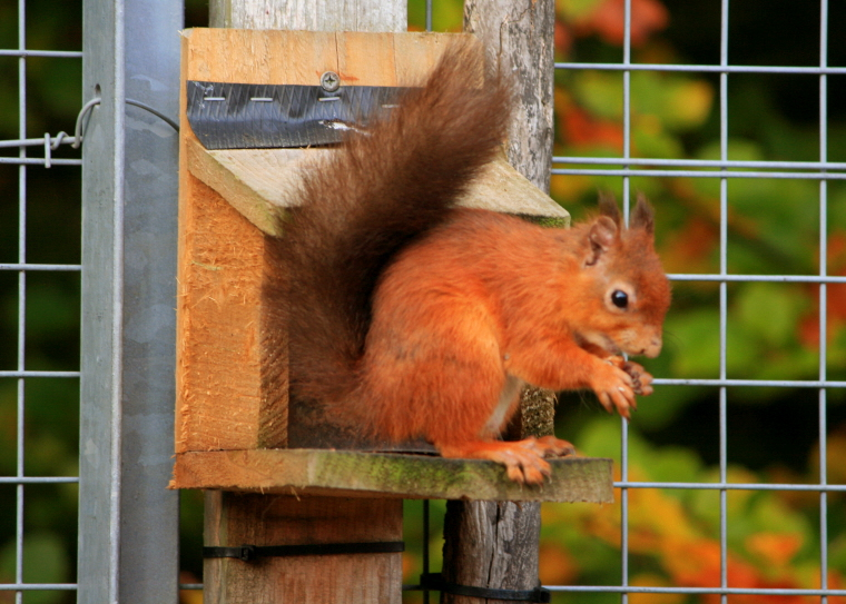 Image of red-squirrel-on-feeder-close-up