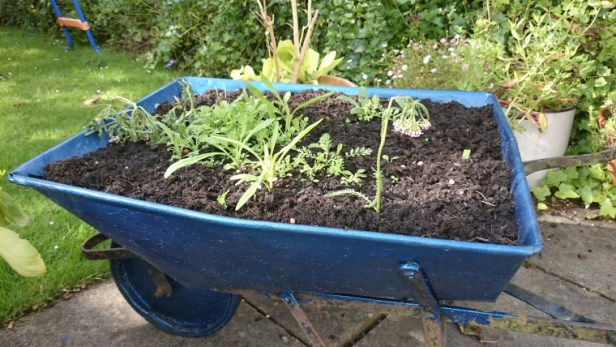 seedlings-sprouting-in-blue-wheelbarrow